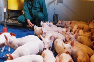POP3 jonge varkenshouders