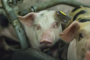 Fijnstof varkenshouderij