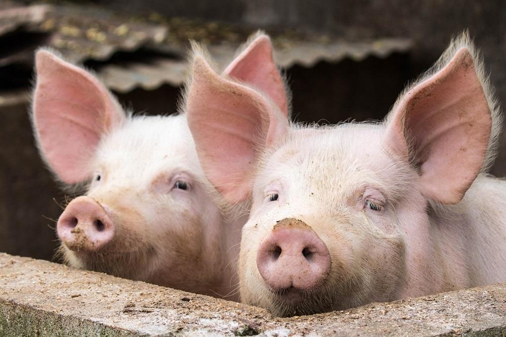 Bacteriële stammenstrijd rondom het varken