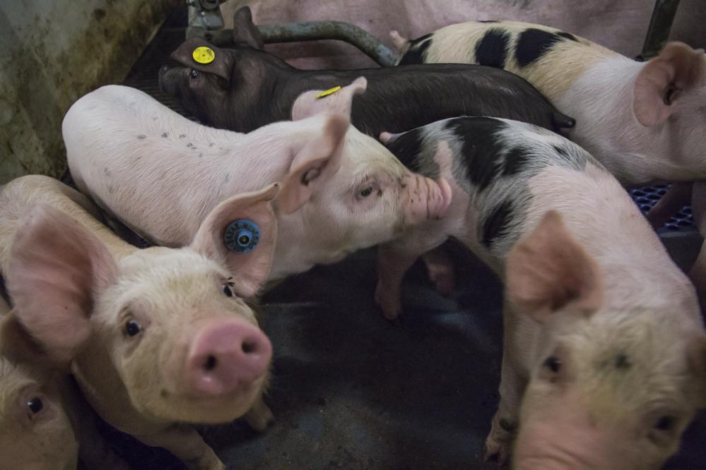 Langere slooptermijn Sanering varkenshouderijen