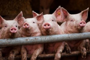 Waarom een krimp van de veestapel niet de oplossing is