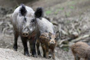 Meer met varkenspest besmette zwijnen in Duitsland