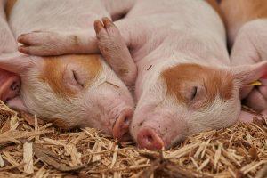 Hoe blikken we in 2030 terug op het varkensjaar 2020?