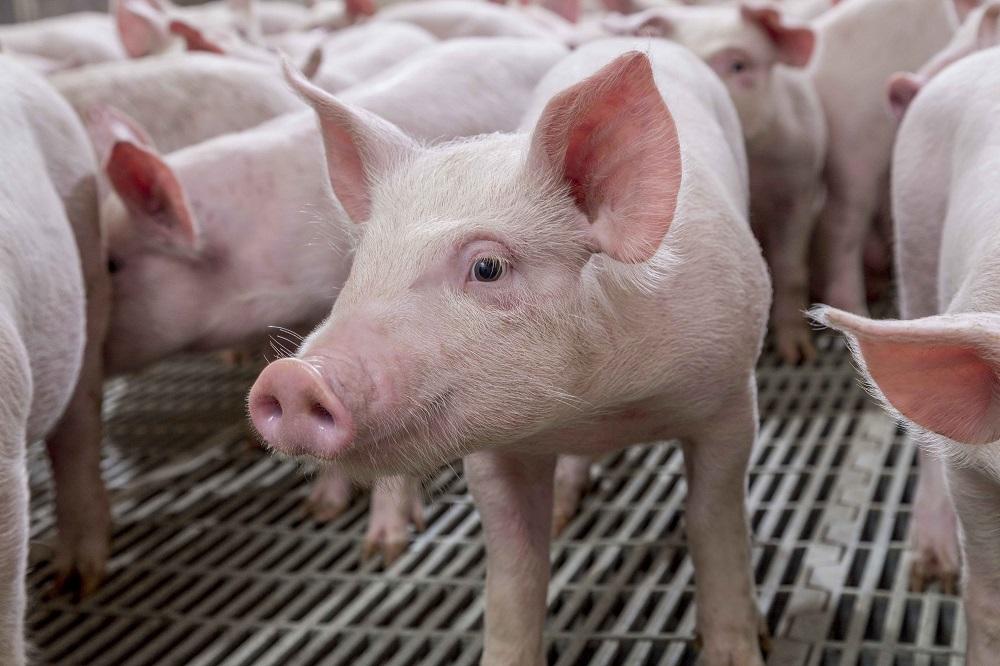 Cherkizovo kiest voor Hypor-varkensgenetica