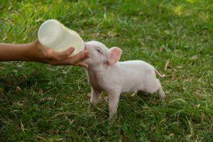 Uniflour 35501: Thermisch behandelde erwtenmeel voor melkvervangers