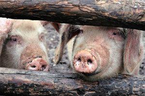 Nieuwe varkenspeststammen opgedoken in China