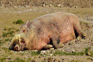 Afrikaanse varkenspest uitgebroken op bedrijf in Polen