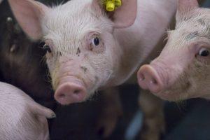 Wijzigingen binnen de subsidieregeling sanering varkenshouderijen