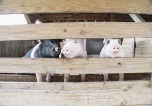 Saneringsregeling: Stoppen of doorgaan met varkenshouderij?