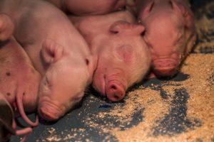 Vertrouwen van varkenshouders sterk toegenomen