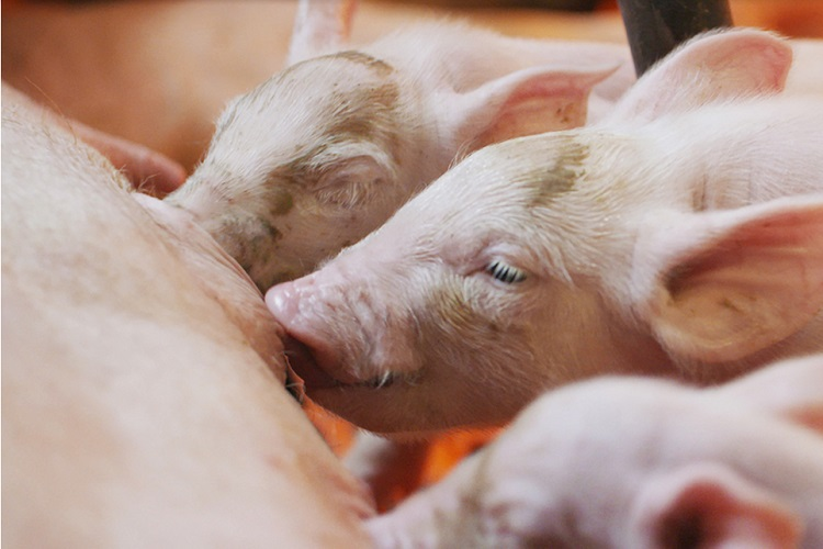drinkwater voor varkens dosers