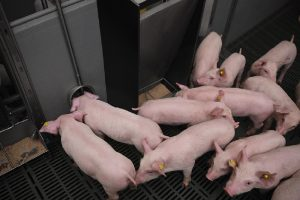 """""""Goed watermanagement is vertrekpunt voor een rendabele varkenshouderij"""""""