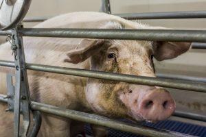 278 varkenshouders maken gebruik van sanering varkenshouderijen (Srv)