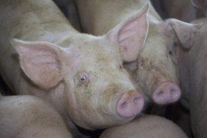 Sociale duurzaamheid leidt tot een beter leven voor varkens