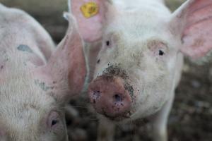 Meerderheid Nederlanders staat achter varkenshouder