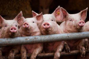 Saneren en innoveren voor een toekomstbestendige varkenshouderij