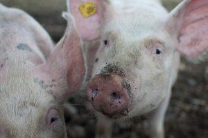 Hittestress bij varkens: aanwijzingen voor varkenshouders