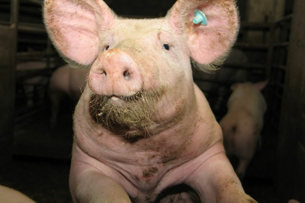 Hoe bepaalt u als varkenshouder uw succes?