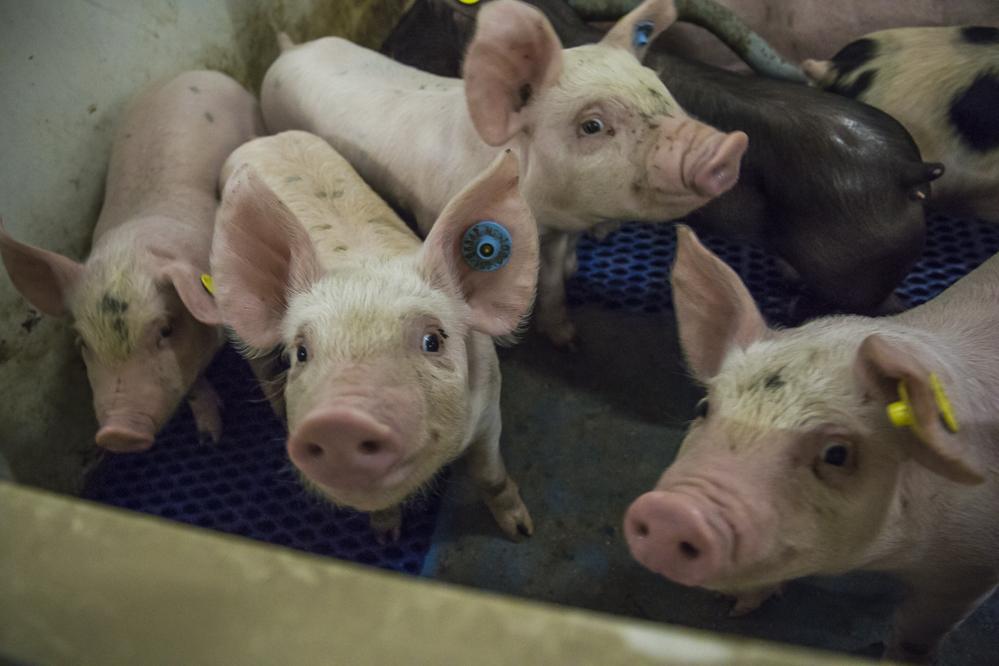 AVP Duitsland legt helaas Europese varkens- en biggenmarkt lam