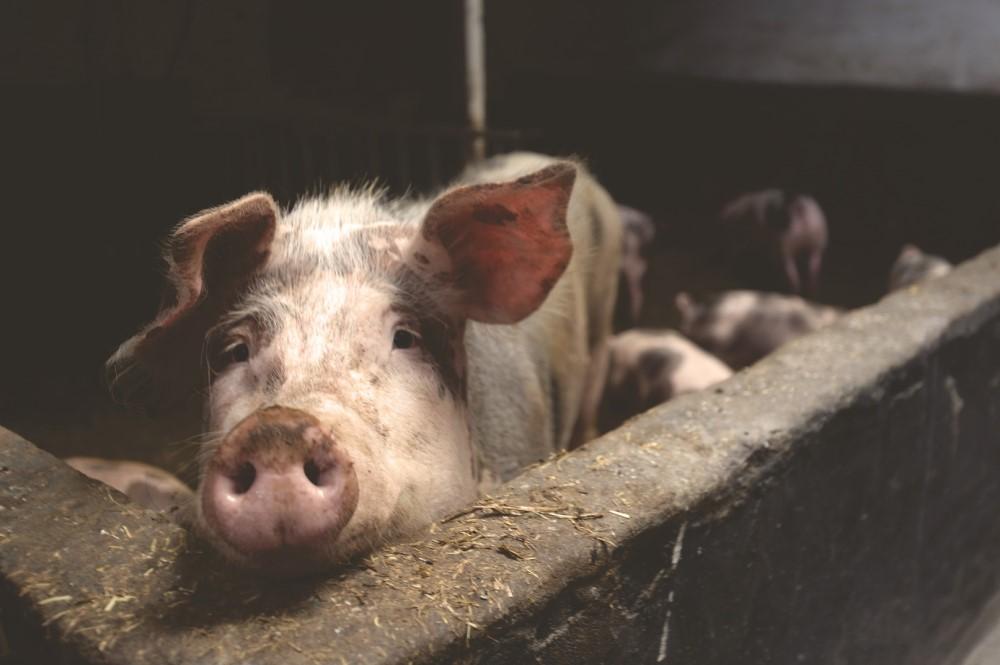 Duizenden Britse varkens dreigen geruimd te worden door personeelstekort